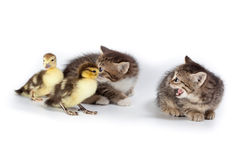 Ducklings and kittens. Stock Photography