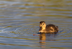 Ducklings on the lake. Duck family on the lake Kozlovo Stock Image