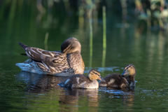 Ducklings on the lake. Duck family on the lake Kozlovo Royalty Free Stock Photography