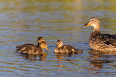 Ducklings on the lake. Duck family on the lake Kozlovo Stock Photo