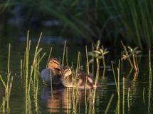 Ducklings on the lake. Duck family on the lake Kozlovo Stock Images