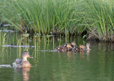 Ducklings on the lake. Duck family on the lake Kozlovo Stock Photos