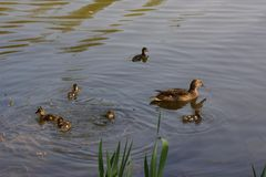 Ducklings in the lake in France - Front view. A female duck with its ducklings which swim quietly some behind the others. They are in the pond of the mute. The Stock Photo