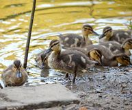 Ducklings on the lake in natural habitat. Friendly family of ducklings on the lake. Summer sunny evening. Ducklings in natural habitat royalty free stock images
