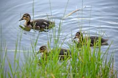Ducklings on the lake in natural habitat. Friendly family of ducklings on the lake. Summer sunny evening. Ducklings in natural habitat royalty free stock photo