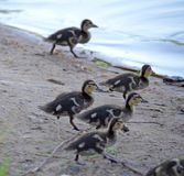 Ducklings on the lake in natural habitat. Friendly family of ducklings on the lake. Summer sunny evening. Ducklings in natural habitat stock images