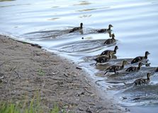 Ducklings on the lake in natural habitat. Friendly family of ducklings on the lake. Summer sunny evening. Ducklings in natural habitat royalty free stock photos