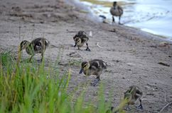 Ducklings on the lake in natural habitat. Friendly family of ducklings on the lake. Summer sunny evening. Ducklings in natural habitat royalty free stock image