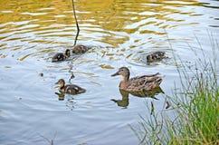 Ducklings on the lake in natural habitat. Friendly family of ducklings on the lake. Summer sunny evening. Ducklings in natural habitat stock photo