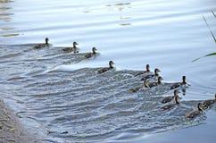 Ducklings on the lake in natural habitat. Friendly family of ducklings on the lake. Summer sunny evening. Ducklings in natural habitat stock photography