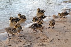 Ducklings on the lake in natural habitat. Friendly family of ducklings on the lake. Summer sunny evening. Ducklings in natural habitat royalty free stock photography