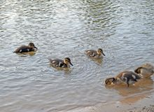 Ducklings on the lake in natural habitat royalty free stock photo