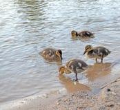 Ducklings on the lake in natural habitat. Friendly family of ducklings on the lake. Summer sunny evening. Ducklings in natural habitat stock photos