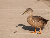 Ducklings by the lake Royalty Free Stock Images