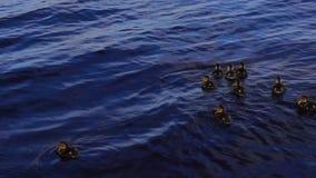 Ducklings in lake stock video