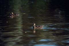 Ducklings on the lake! Stock Image