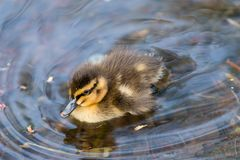 Ducklings Life and death story. 1 0f10 stock photo