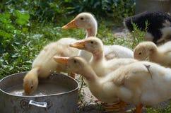 Ducklings. stock photos
