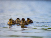 Ducklings @ Lloyd Elsmore Park, Auckland, New Zealand. Ducklings swimming with their mother at Lloyd Elsmore pond Royalty Free Stock Image