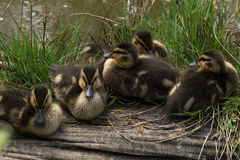 Ducklings on log Royalty Free Stock Photo