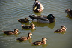 Ducklings and male mallards. Two male mallard ducks and ducklings Royalty Free Stock Images