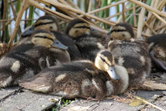 Ducklings of mallard or wild duck. Anas platyrhynchos Stock Image