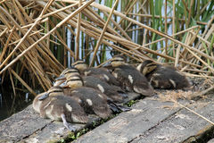 Ducklings of mallard or wild duck Royalty Free Stock Photos