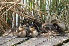 Ducklings of mallard or wild duck. Anas platyrhynchos Stock Photo