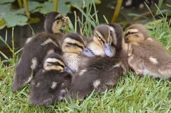 Ducklings mallards lying on grass. Six ducklings mallard (Anas platyrhynchos) lying on grass Royalty Free Stock Photos