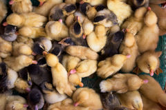 Ducklings at a market in Vietnam Stock Images