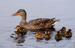 Mallard Duckling learning to survive stock photography