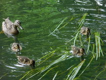 The 4 ducklings and Mom Duck Stock Photos
