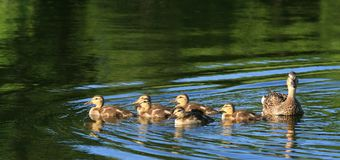 Ducklings with Mother. Mallard ducklings swimming with their mother. Ottawa, Ontario. Canada Stock Photo