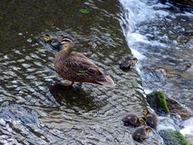 Ducklings and mother duck. Ducklings try hard to stay with their mother, fighting against the river flows Royalty Free Stock Image