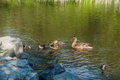 Ducklings With Mother. Newborn ducklings swim with their mother in a pond in Nomandy Park, Washington Stock Photos