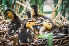 Ducklings with mother resting in log at the river side. Ducklings with mother Anas platyrhynchos resting in log at the river side royalty free stock image