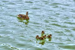 Ducklings and mother duck floating on lake. Ducklings and mother wild duck swimming on the lake in a summer day. Group of five baby ducks. Protection and care Stock Photo