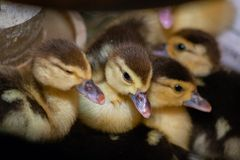 Ducklings of a musky duck in the shelter royalty free stock photos