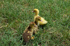 Ducklings of a musky duck stock images