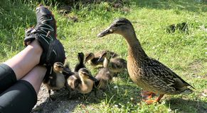Ducklings near human. Mallard duck with ducklings coming very close to human sitting on the grass royalty free stock image