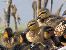 Ducklings. A nest full of mallard ducklings in spring Royalty Free Stock Photo