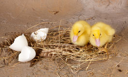 Ducklings on nest Royalty Free Stock Image