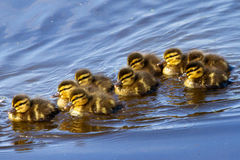 Ducklings. New born ducklings (Anas platyrhynchos) in spring in the Netherlands Stock Photos