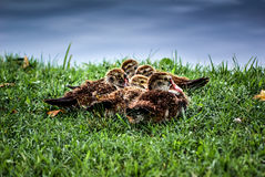 Ducklings New Orleans LA USA 1-S Stock Image
