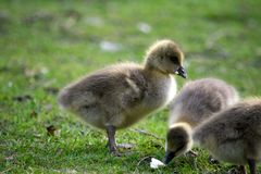 Ducklings in a park, eating bread stock photography