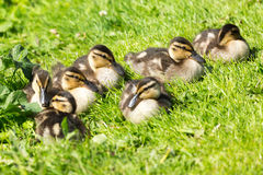 Ducklings Stock Image