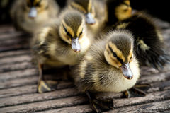 Ducklings on a Pier Royalty Free Stock Photo