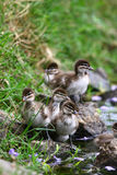 Ducklings by the Pond Stock Photography