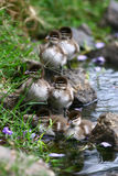Ducklings by the Pond Stock Photo