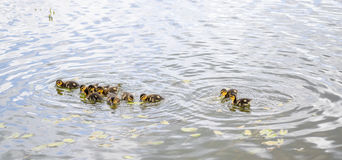 Ducklings on pond Stock Photo